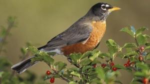When the red, red robin Comes bob, bob, bobbin along, along, There'll be no more sobbin When he starts throbbin His old sweet song